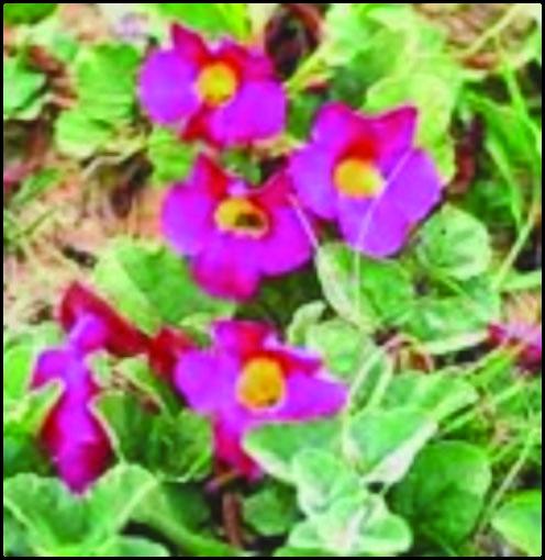 مقایسه اثردارویی گیاه پنجهشیطان با NSAIDs