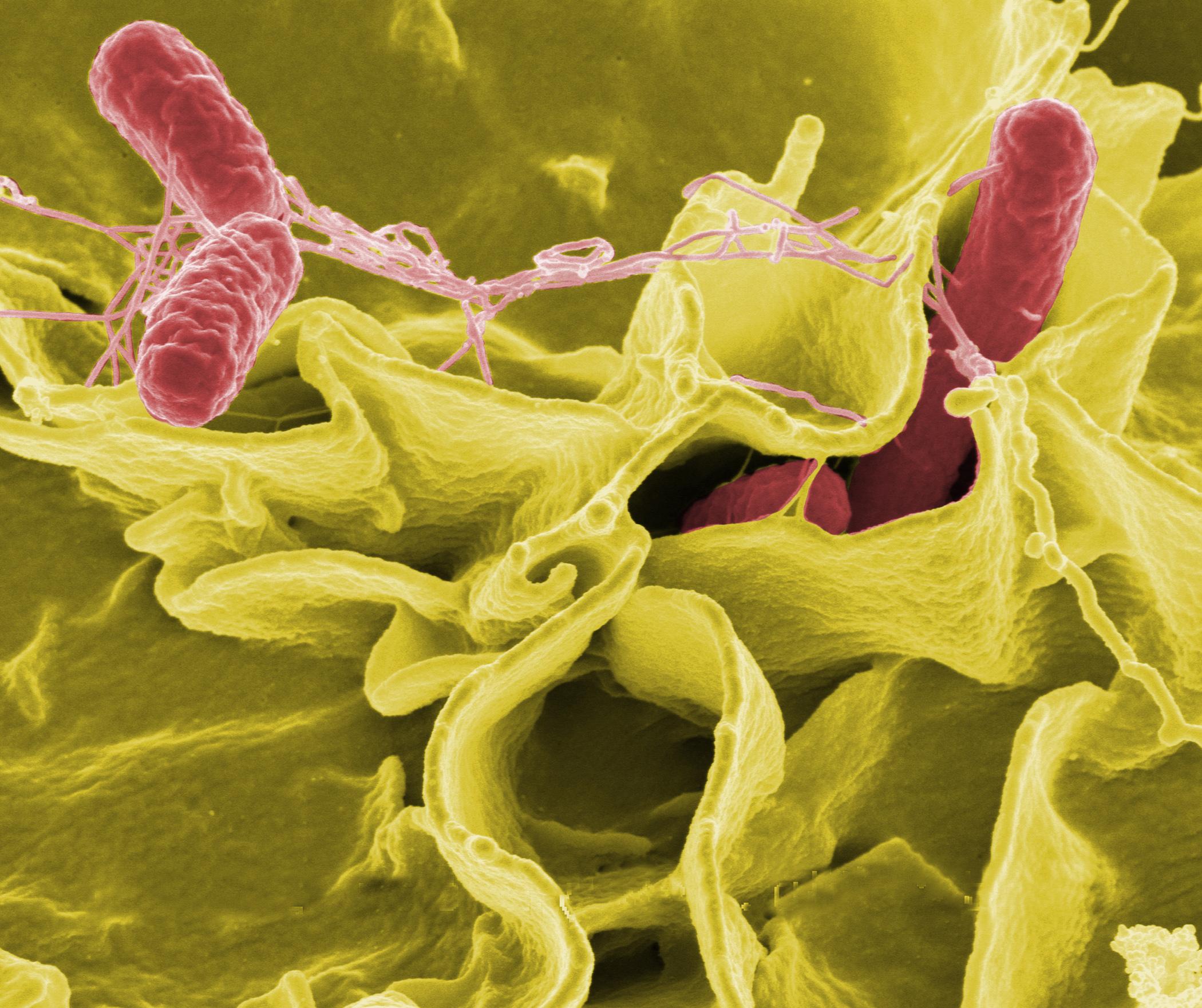 بیوسنسور جدید برای هدفگیری سالمونلا