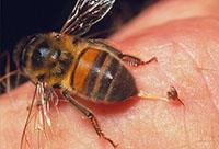 نکاتی از نیش زنبور