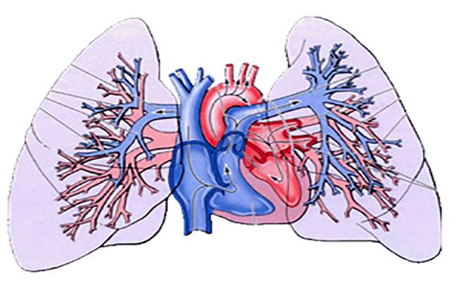 نقش سلولهای مغزاستخوان در افزایش فشارخون ریوی