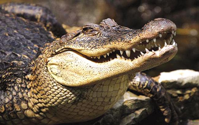 بنیاختههای تمساح و نوسازی دندان انسان