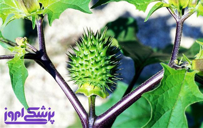 بررسی اثر مصرف خوراکی گیاه داتوره