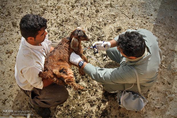 یک میلیون دام در کردستان علیه تب برفکی واکسینه شدند