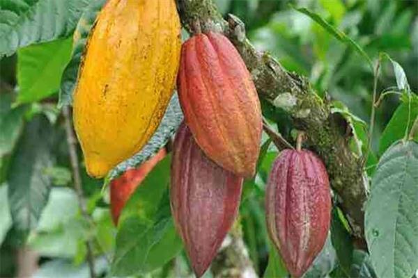 نجاتمزارع کاکائو در آفریقا باکود بیولوژیک ایرانی