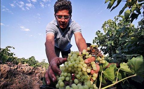 اولین جشنواره شیره انگور پزی در کاشمر برگزار شد/ برگزاری 30 رویداد گردشگری تا پایان سال جاری