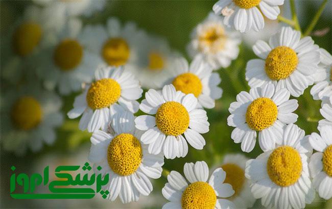 استفاده از خواص ضد سرطانی گل بابونه در داروسازی