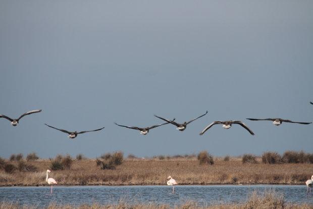 تعداد تلفات پرندگان مهاجر در میانکاله به ۵ هزار قطعه می رسد